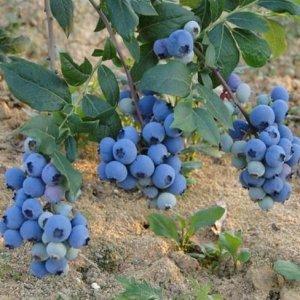 现在流行水果盆栽,种起来阳台变成小果园