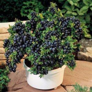 这6种水果阳台盆栽易存活结果多,小阳台成大果园