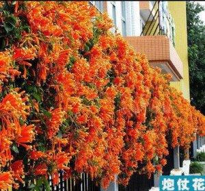 这几种爬藤植物开花美翻天了,养一种就能美丽一个家