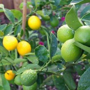 阳台别傻傻空着了,今年种点果苗来年果子吃不完