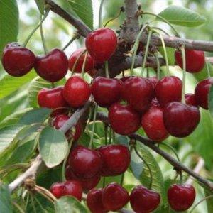 养花不如种水果,最容易爆盆的十种水果盆栽,新手在阳台轻松种活