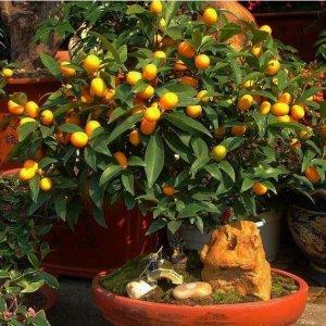 水果小盆栽,在阳台种上几棵,水果吃不完!想吃就摘