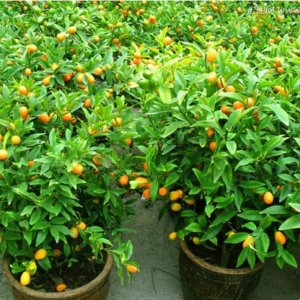 八种当年就结果的水果盆栽,最适合在阳台种植