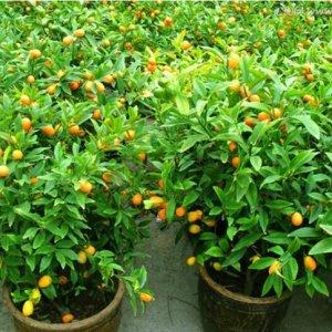 阳台别乱种花了,要种就种这些水果盆栽,水果一年四季都吃不完