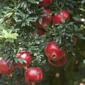 植物盆栽已经不流行了,现在流行这几种水果盆栽,好看又好养活